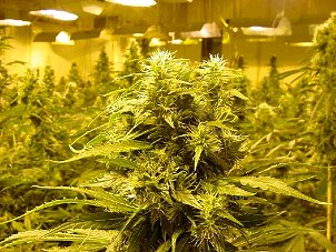 Maine, Marijuana Growers Insurance